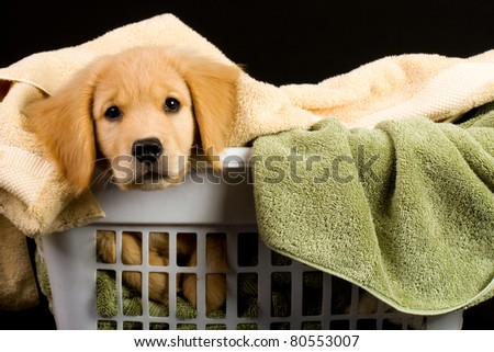 Soft Puppy in a laundry basket full of of towels