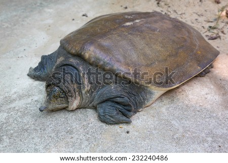 soft-shell turtles - Family: Trionychidae - stock photo