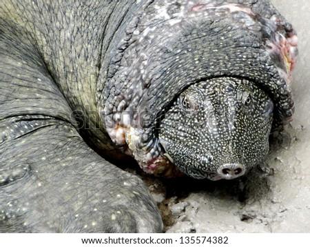 Soft Shelled Turtle - stock photo
