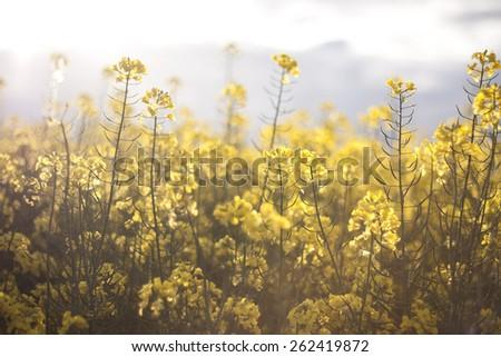 soft sunlight on rapeseed yellow flowers, seasonal dreamy background - stock photo