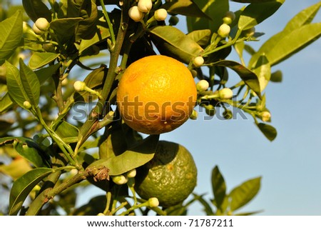 softly cloudless background with oranges growing on the tree