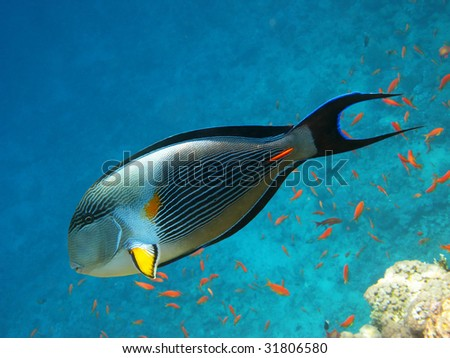 Sohal surgeonfish and coral reef - stock photo