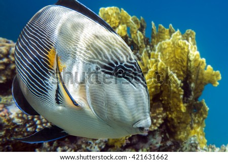 Sohal surgeonfish - detail - close up (Acanthurus sohal) with coral reef
