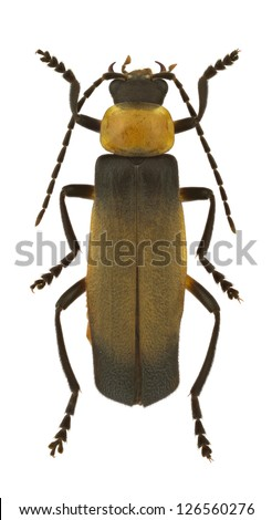 Soldie Beetle (Cantharidae) isolated on white background. - stock photo