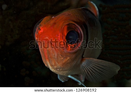 Soldierfish - stock photo