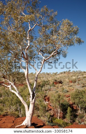 Solitaire eucalyptus tree in the australian outback. - stock photo