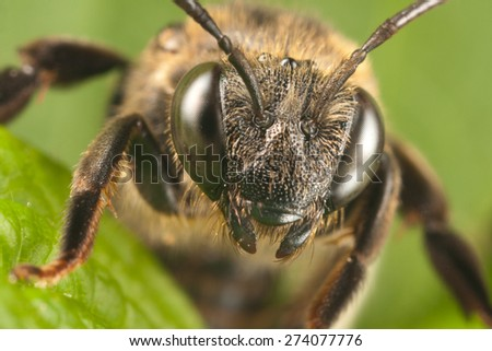 Solitary bee macro - stock photo
