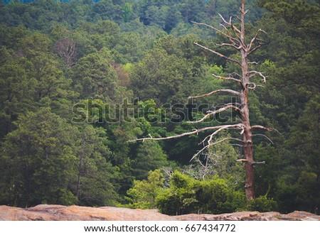 Solitary Dead Pine Tree Among Living Stock Photo 667434772 ...