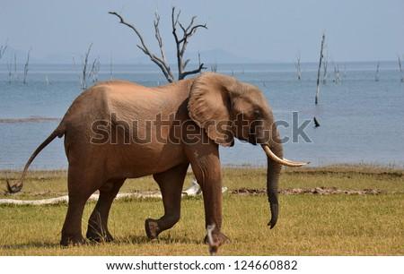Solitary Elephant - stock photo