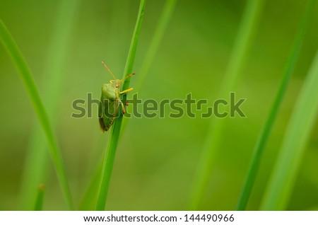 Solitary Green Shield Bug on Grass Blade - stock photo