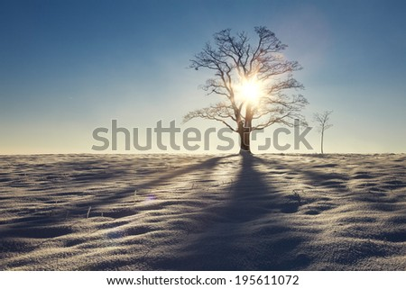 Solitary maple tree and the shade on the snow