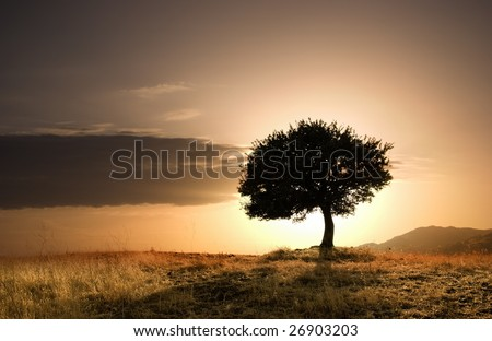 solitary oak tree in golden sunset - stock photo