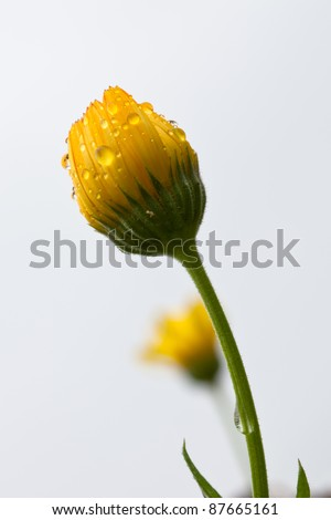 Solitary yellow flower bud covered in dew - stock photo