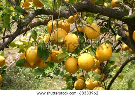 Soller (Mallorca) with his beautiful lemon gardens - stock photo