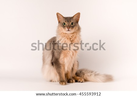 Somali cat blue color