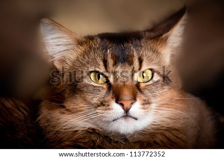 Somali cat in a shadow - stock photo