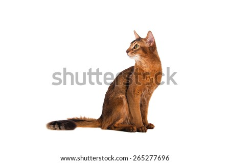 Somali cat on a white background. Cat sitting.