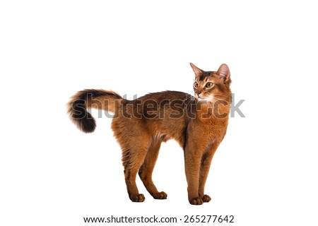 Somali cat on a white background. Cat stands. - stock photo