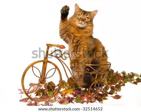 Somali cat on mini bicycle, on white background - stock photo