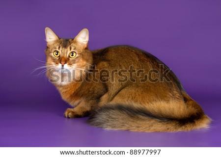 Somali cat on purple background - stock photo