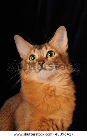 Somali cat portrait isolated on black velvet background - stock photo