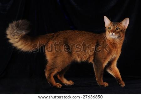 Somali cat ruddy color on dark blue velvet - stock photo