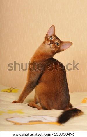 Somali cat ruddy color sitting portrait. She turned back. - stock photo