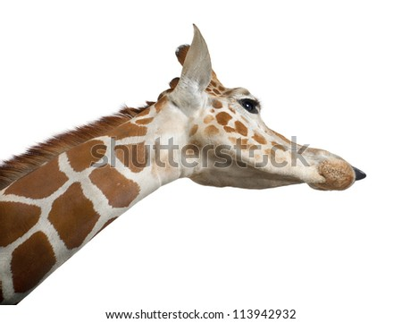 Somali Giraffe, commonly known as Reticulated Giraffe, Giraffa camelopardalis reticulata, 2 and a half years old close up against white background - stock photo