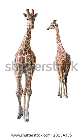Somali Giraffe young couple isolated on white background