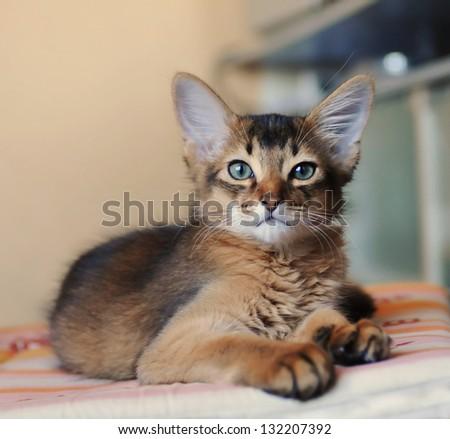 Somali kitten ruddy color portrait looking at camera - stock photo