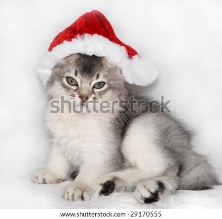 somali kitten wearing a santa hat - stock photo