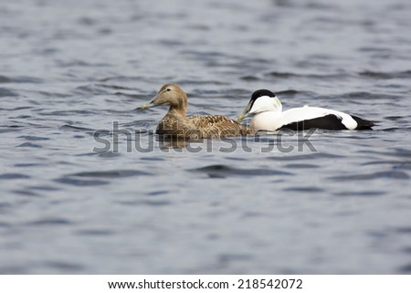 Somateria molissima, Common Eider.  The photo was taken in the Kandalaksha Gulf of the White Sea. Russia, Murmansk region. Island Lodeinoe.