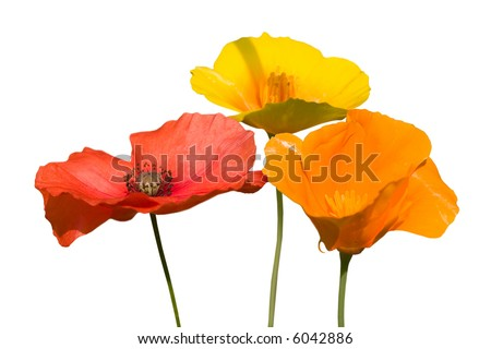 some beautiful colorful poppie flowers isolated on white - stock photo