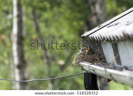 Some birds build their nests around human habitation -- true thrush chick with open beak in nest built into rain gutter.