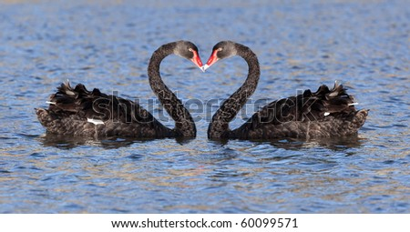 some black swan at the lake in Tasmania - stock photo