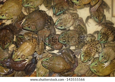 Some Bull Frogs At A Frog Farm - stock photo