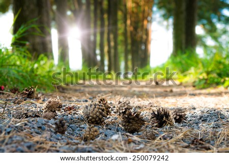Some cones fell to the ground. Forest.
