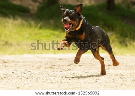 Some dogs likes to run free, this is a super educated dog that won the right to be off leash. - stock photo