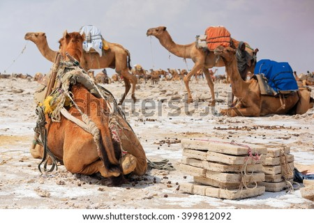 Some dromedaries waiting to be loaded with amole-salt slabs of the ganfur-4 kg.size to transport them to Berahile market 75 km.away. Lake Assale or Karum salt works-Danakil desert-Afar region-Ethiopia