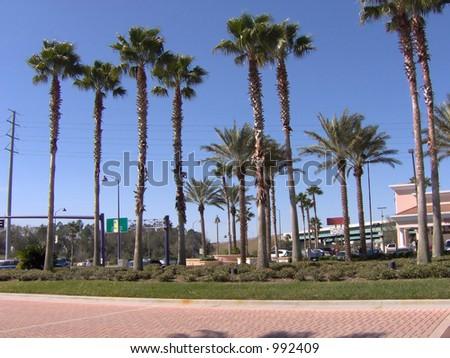 Some Florida tall palm trees. - stock photo