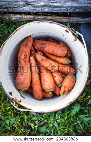some fresh harvested carrots in the basket/ harvest background - stock photo