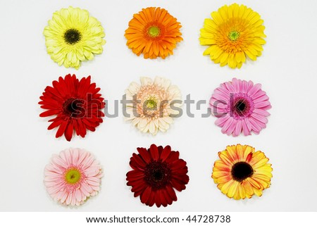 Some gerberas daisy in white background. Great colors
