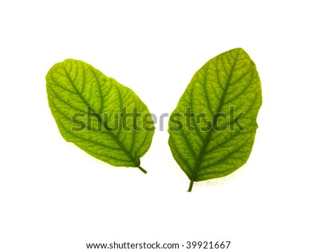 Some green leaves of an acacia isolated on a white background - stock photo