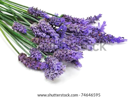 some lavender flowers on a white background - stock photo
