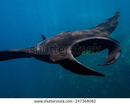 Some manta rays, manta birostris are completely black on top. This is a genetic variation that is quite uncommon. - stock photo