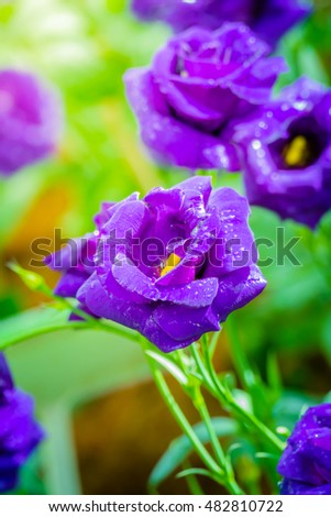 Some purple yellow roses in the garden, nature background