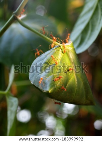 some red ants running around and defend their  small red ant nest built from green leaves in a bush in tropical nature under morning sunlight. - stock photo