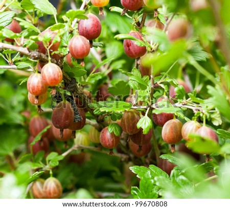 Some ripening gooseberries on the branch