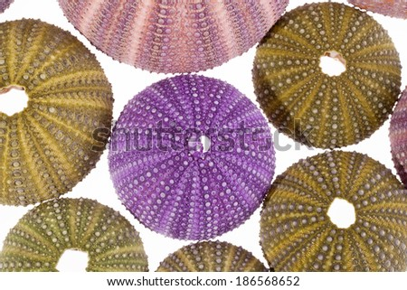 some seashell of sea urchin isolated on white background - stock photo