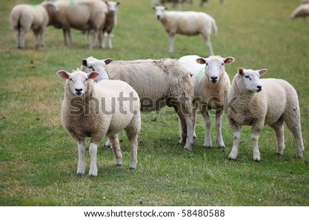Some sheep - stock photo
